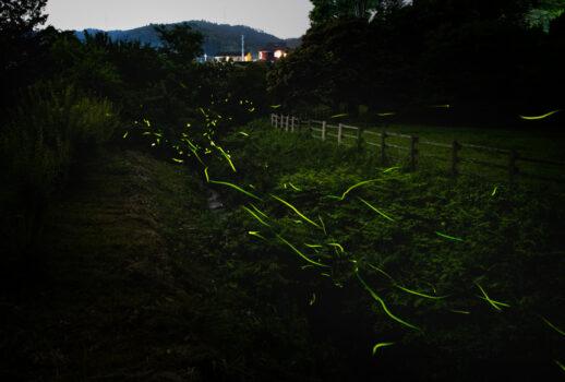 鳴沢川 箱島ホタルは令和元年も舞う